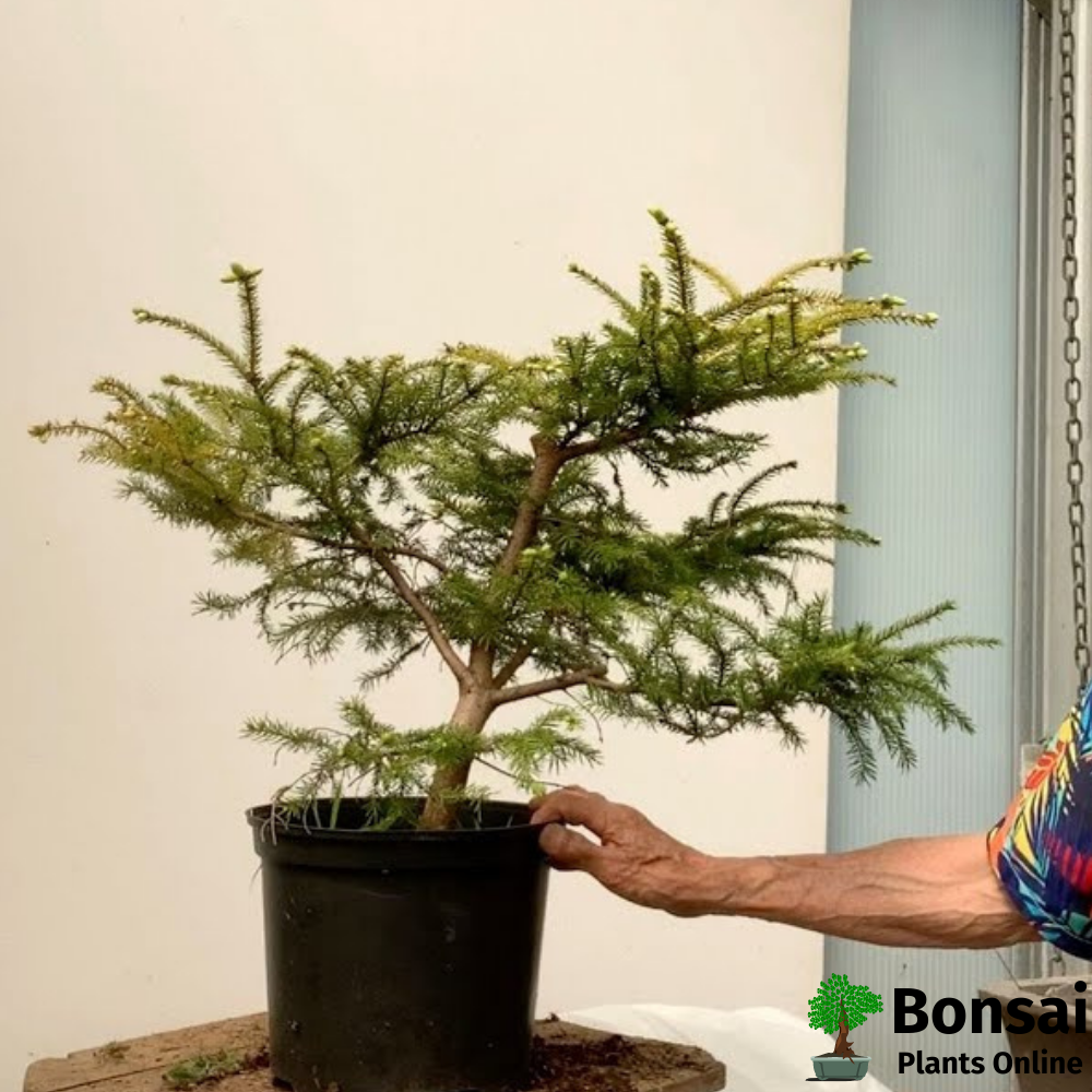Caring for Spruce bonsai tree