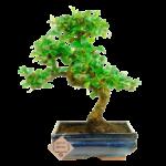 Carmona bonsai tree