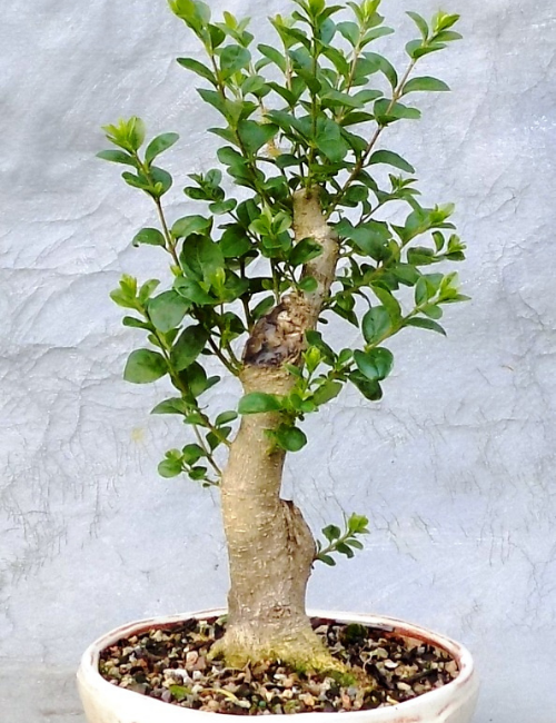 Chinese Privet bonsai tree for indoors