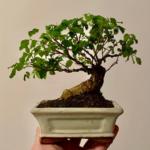 Chinese Privet bonsai tree