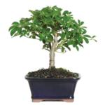 dwarf umbrella bonsai tree