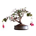 Fuchsia bonsai tree