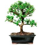Jade bonsai tree