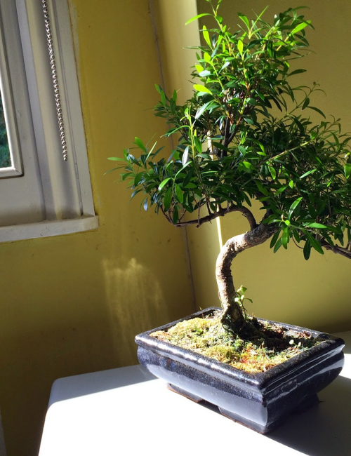 Indoor Rosemary bonsai tree for positive vibes