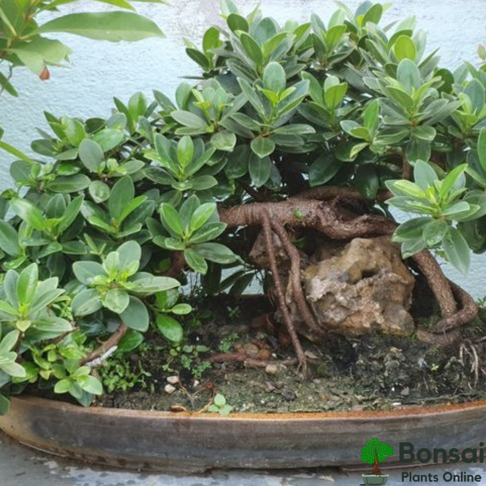 Caring for your Ficus Long Island bonsai indoors