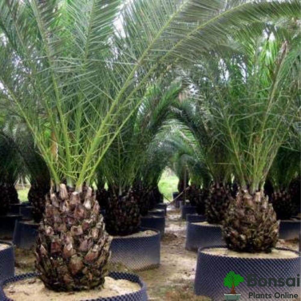 Beautiful and enchanting Date Palm Tree bonsai for indoors