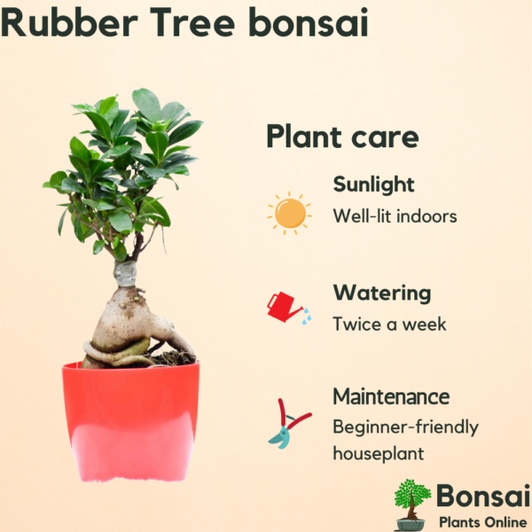 Get the air-purifying Rubber Tree bonsi for indoors