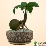 Get the auspicious Coconut bonsai for your home