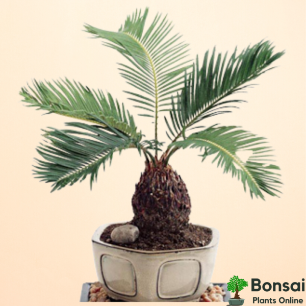 Get the beautiful Date Palm Tree bonsai for indoors