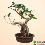 Get the tropical Ficus Long Island bonsai as for soothing interiors