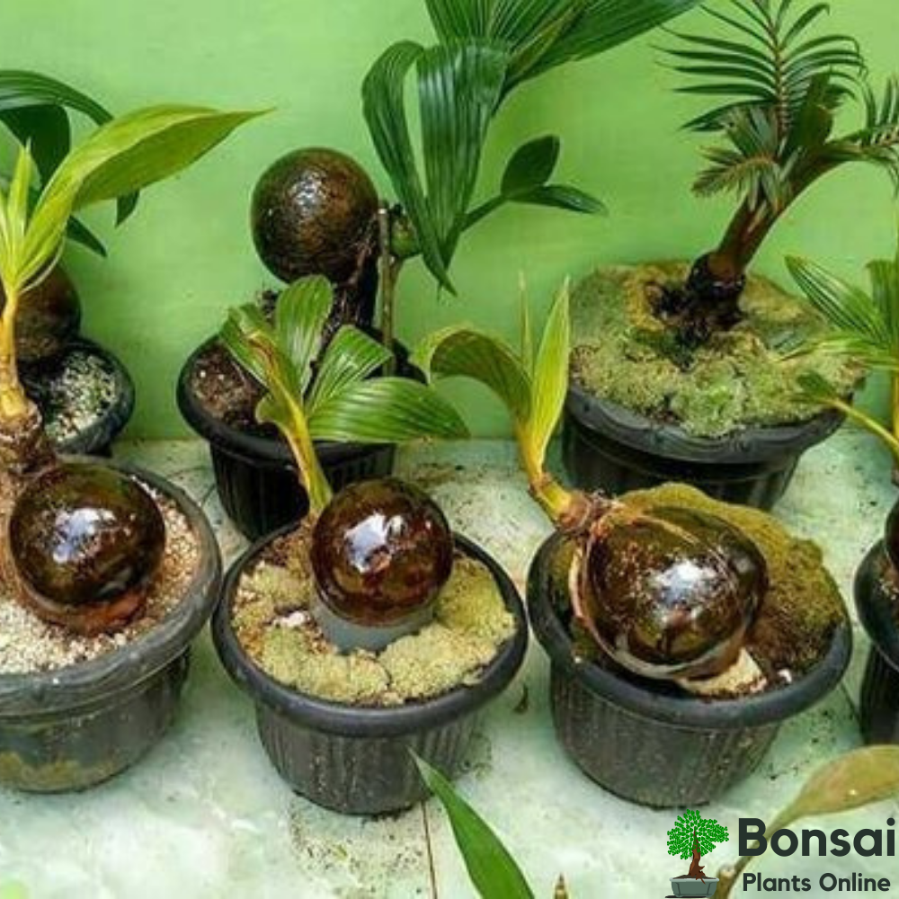 Auspicious and fruit-bearing Coconut bonsai for your home