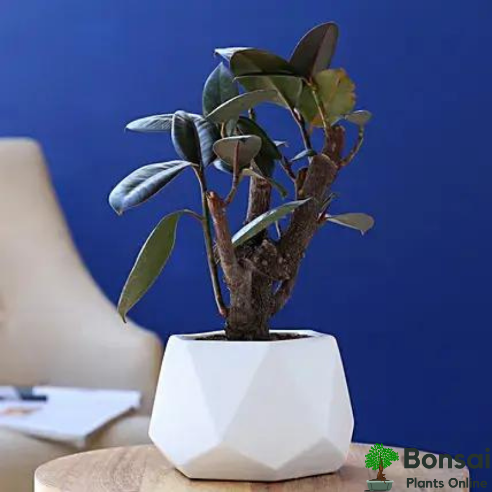 Aesthetic and air-purifying Rubber Tree bonsai for indoors