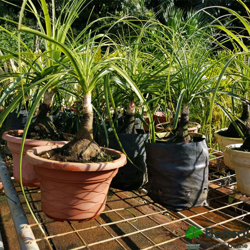 Caring for your Date Palm Tree bonsai
