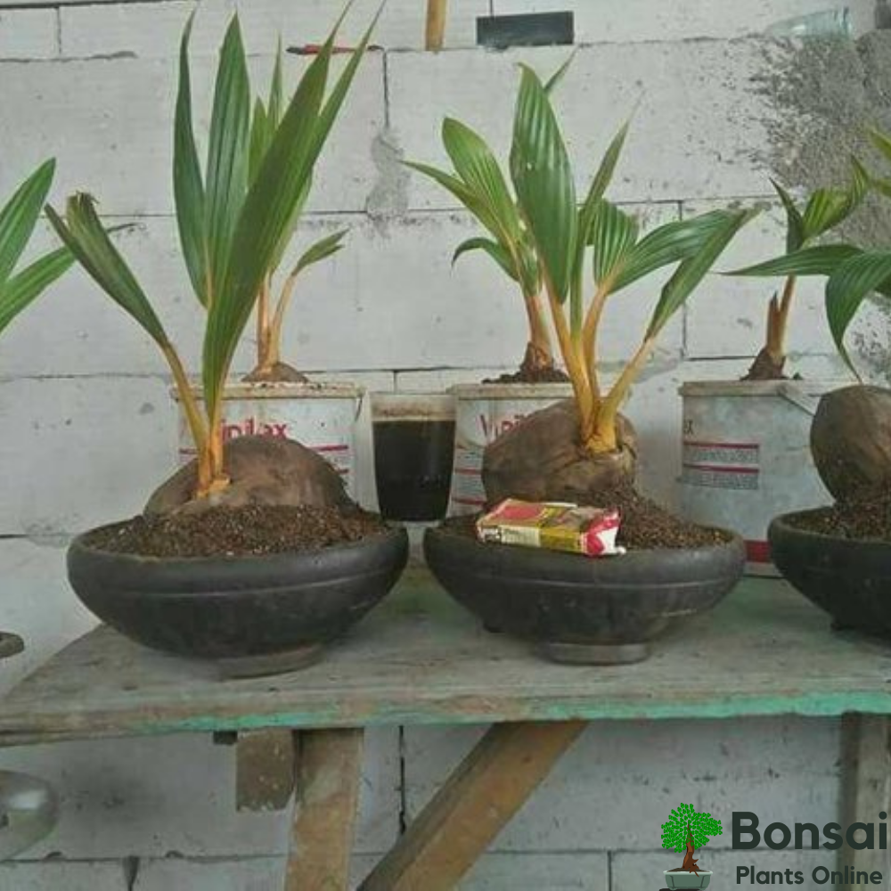 Caring for your fruit-bearing Coconut bonsai tree