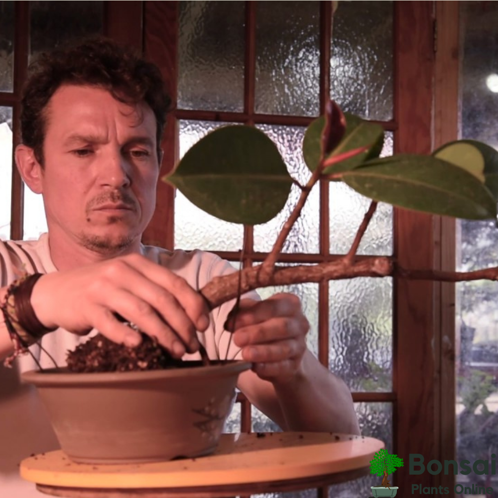 Caring for your bonsai Rubber Tree indoors